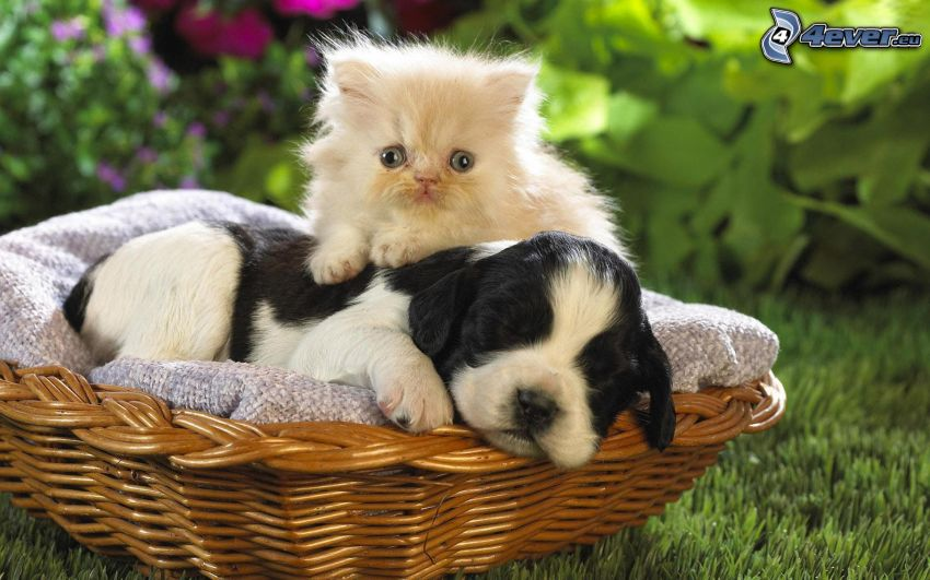 cat and dog, puppy, small white kitten
