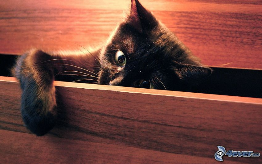 black cat, drawer