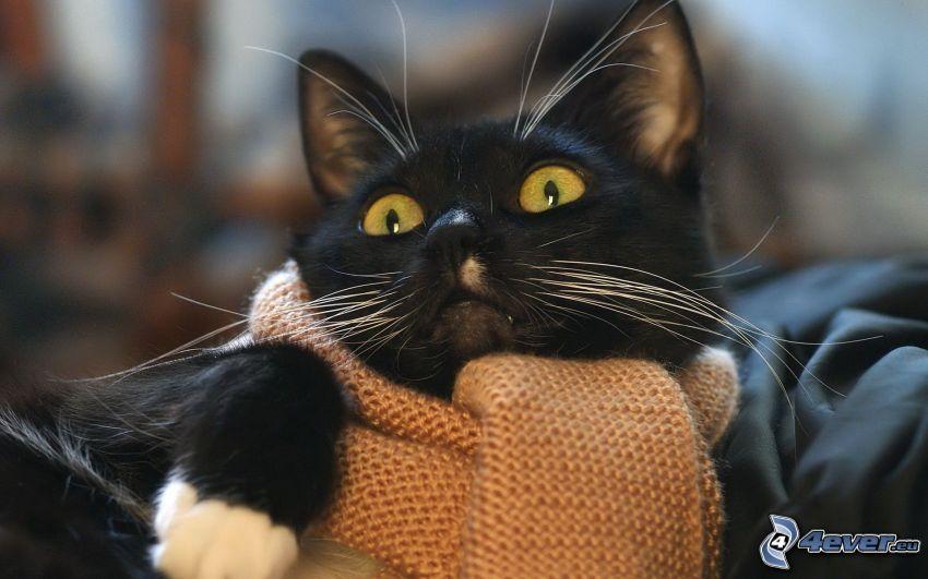 black cat, scarf