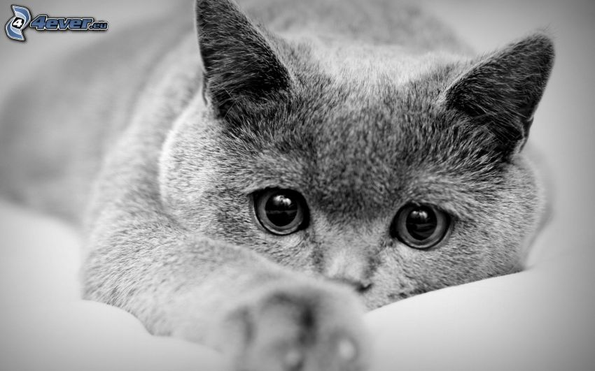 british shorthair, black and white photo, cat's look