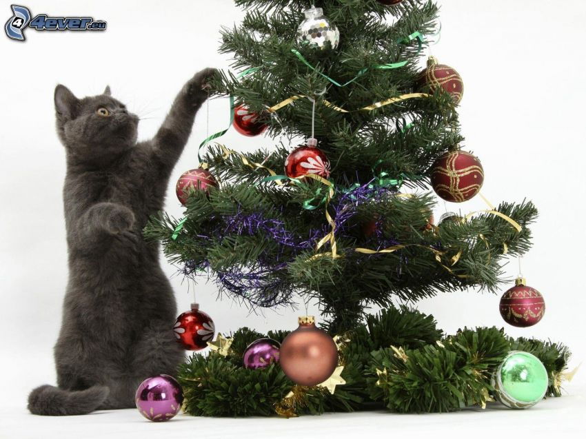 british shorthair, christmas tree