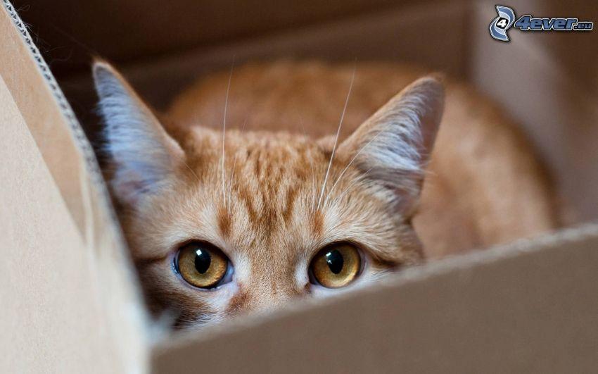 brown cat, box