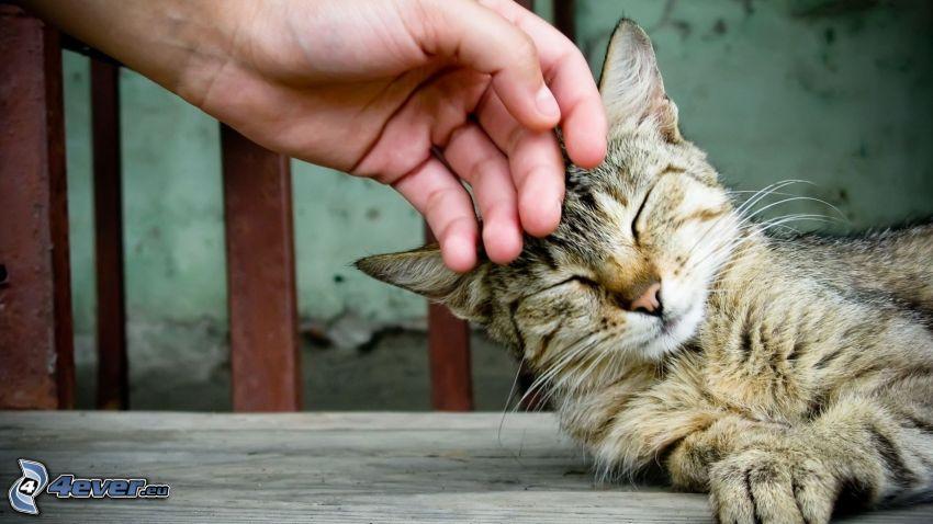 brown cat, hand, tenderness