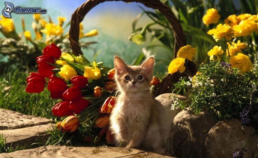 brown kitten, tulips, yellow flowers