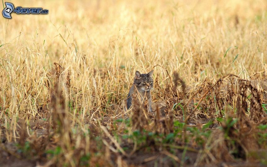 cat, field