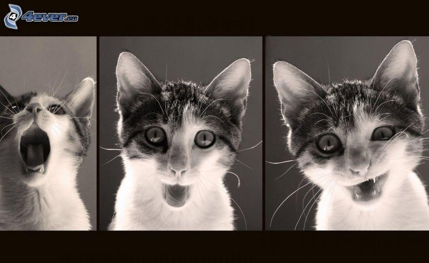 cat, grimacing