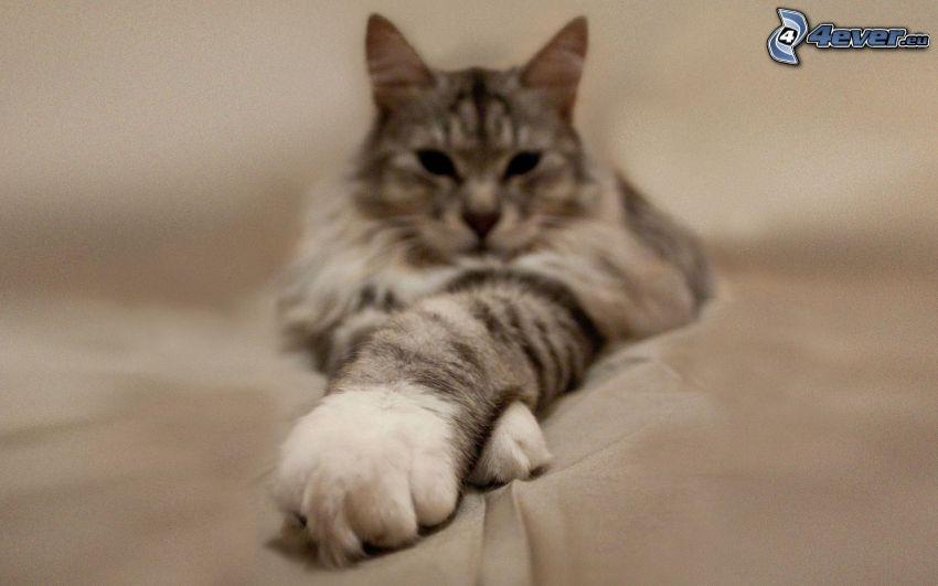 cat, paws