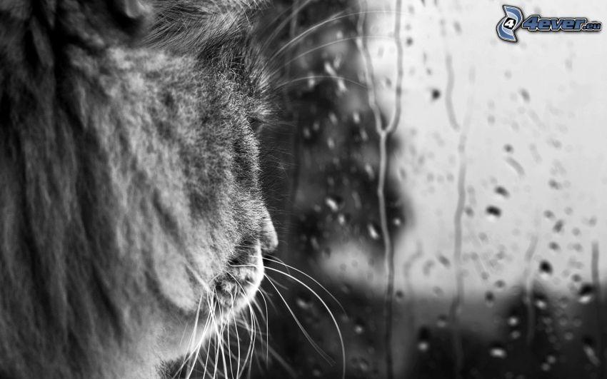cat, window, drops of rain