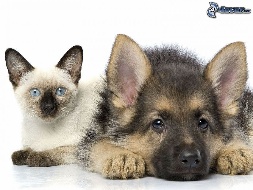 cat and dog, siamese cat, wolf-dog puppy