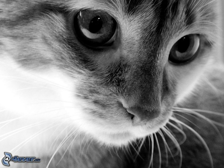 cat face, black and white photo