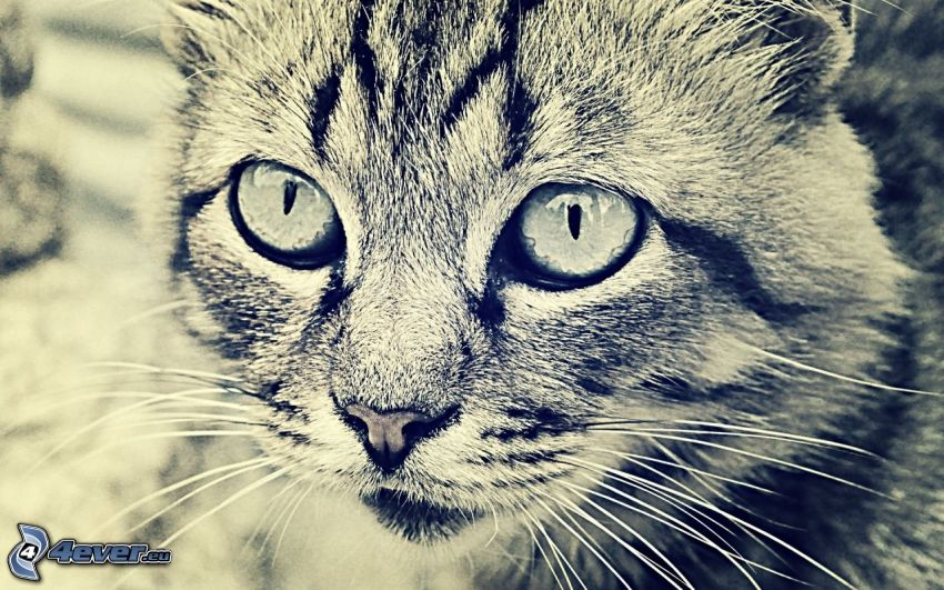 cat's look, black and white