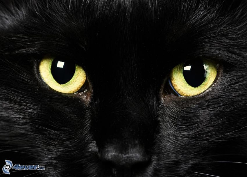 cat's look, black cat