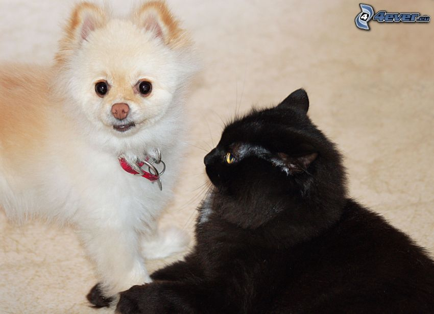 dog and cat, black cat