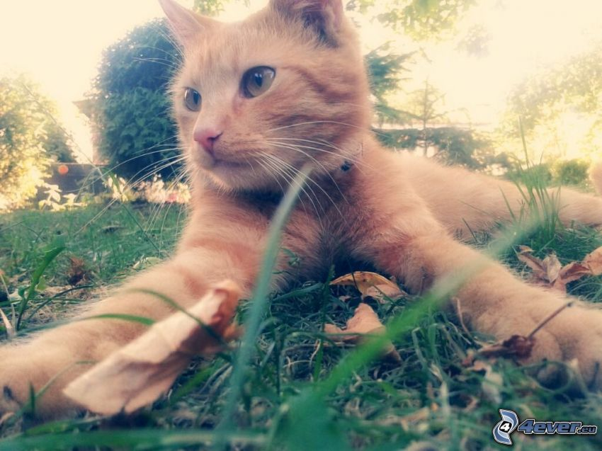 ginger cat, lawn