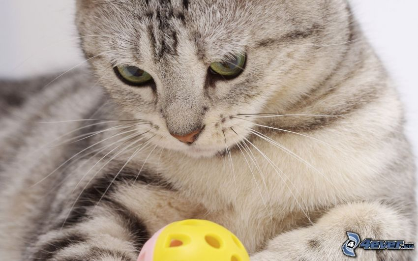 gray cat, ball, toy
