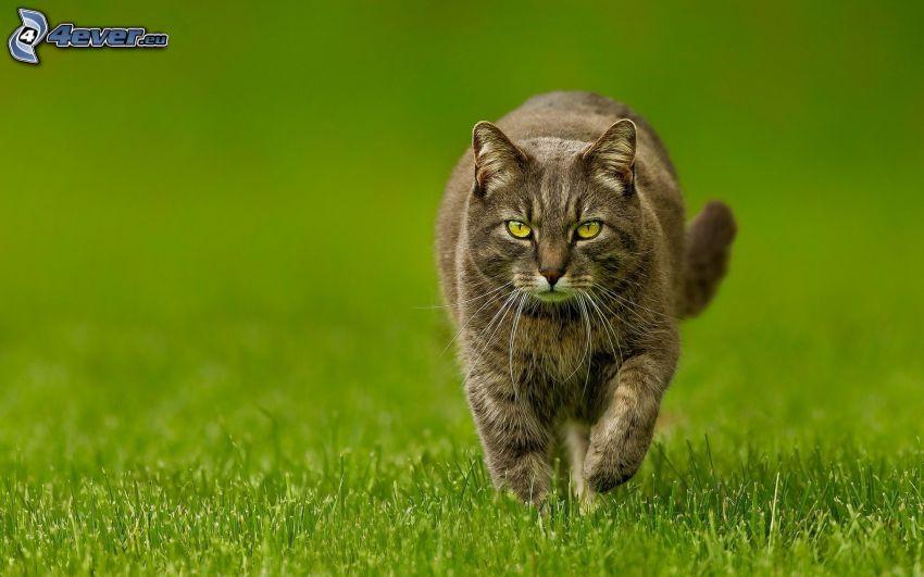 gray cat, walking, lawn