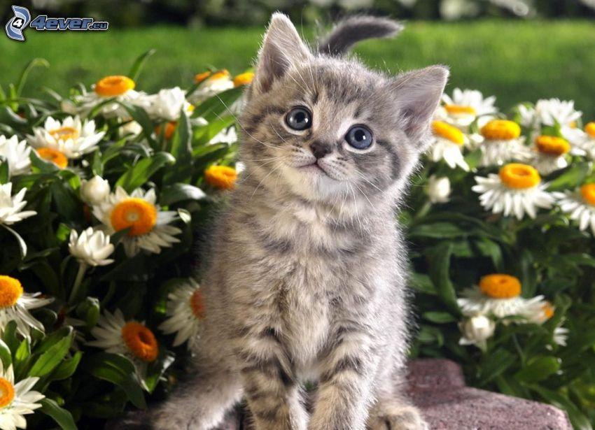 gray kitten, daisies