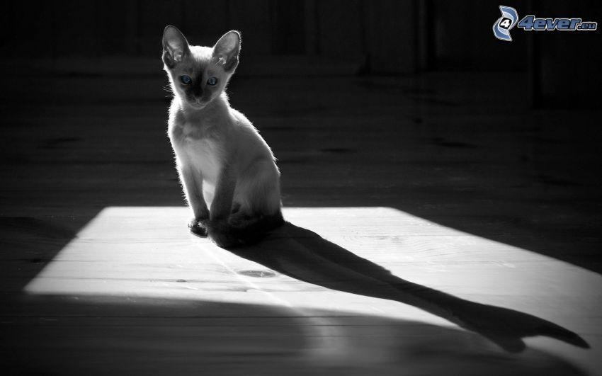 gray kitten, shadow