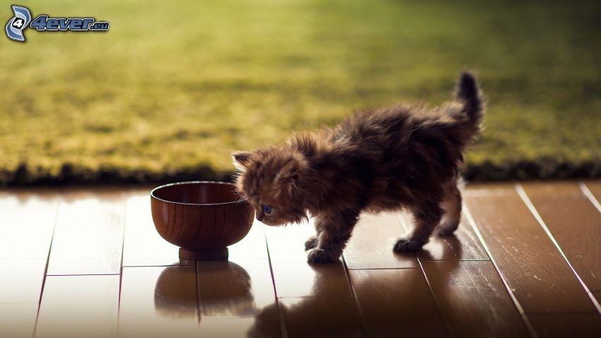 hairy kitten, bowl
