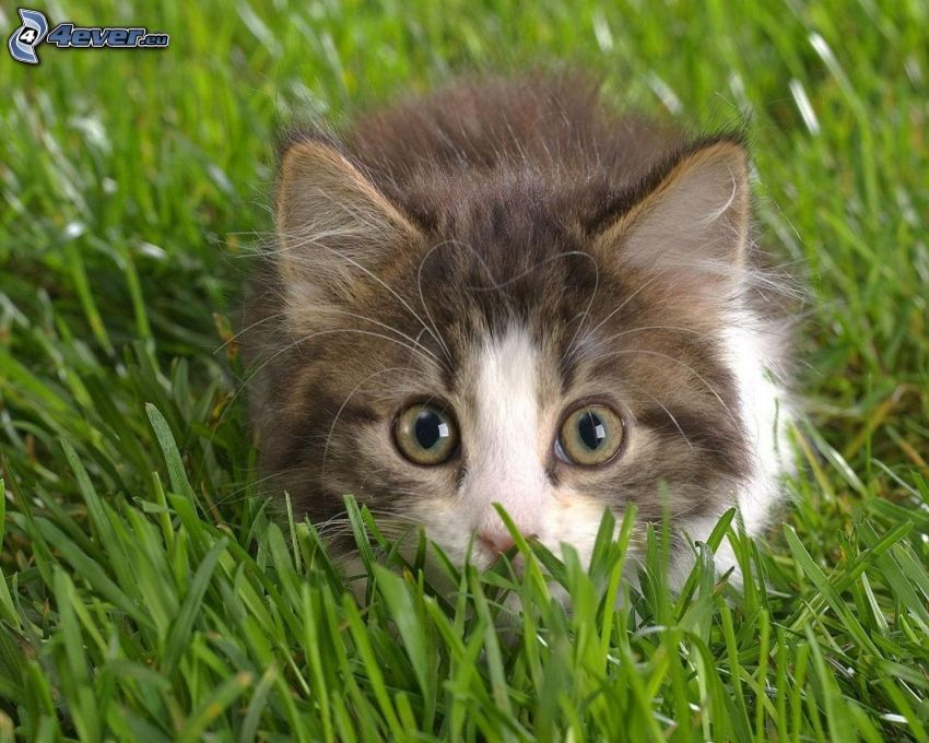 hairy kitten, cat in the grass, lawn