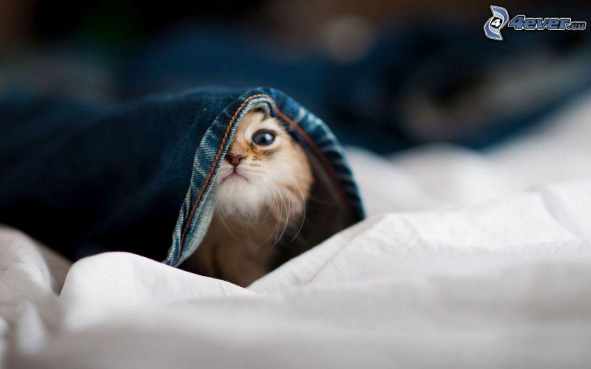 kitten, blanket