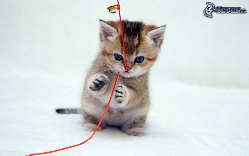 kitten, clothesline