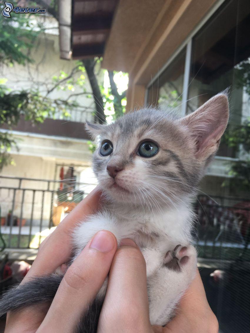 kitten, hands