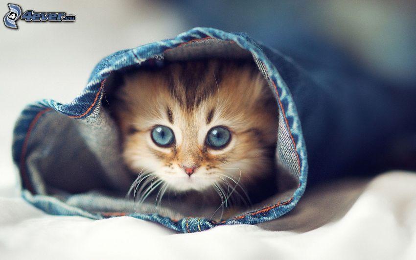 kitten, jeans