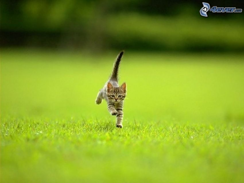 kitten, lawn