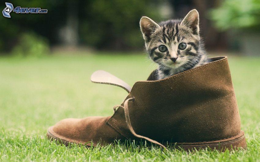 kitten, shoe