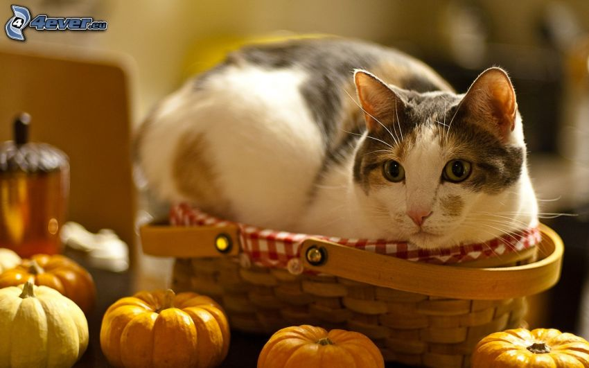 kitten in basket, pumpkins
