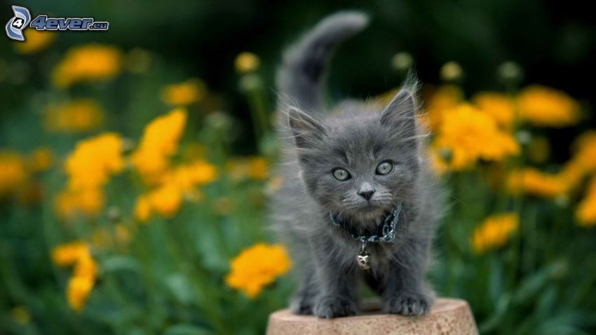 kitten on the column, hairy kitten, yellow flowers