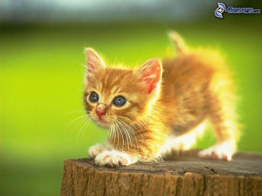 kitten on the column, small ginger kitten, grass