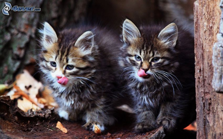 kittens, put out the tongue