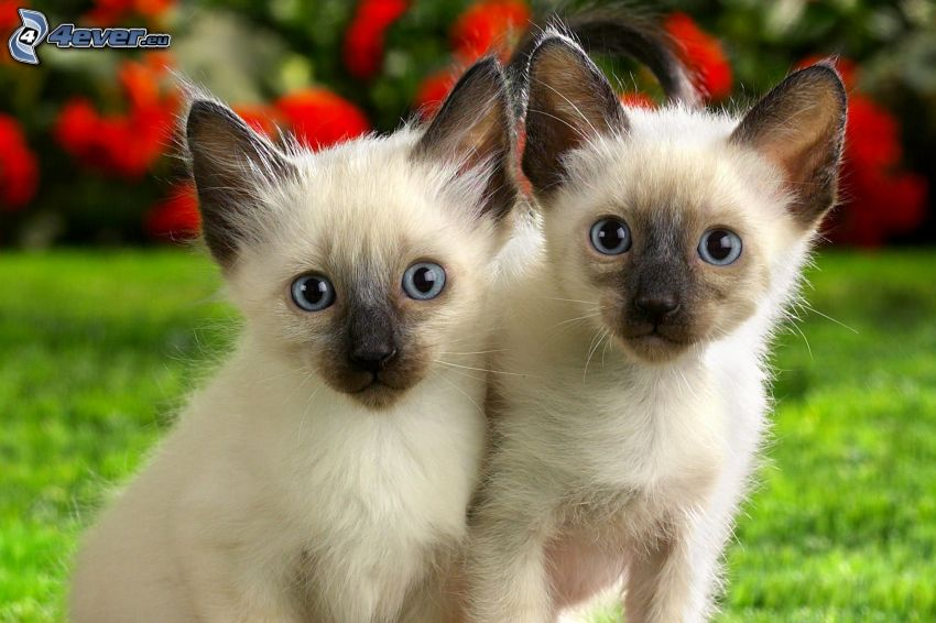 kittens, siamese cat