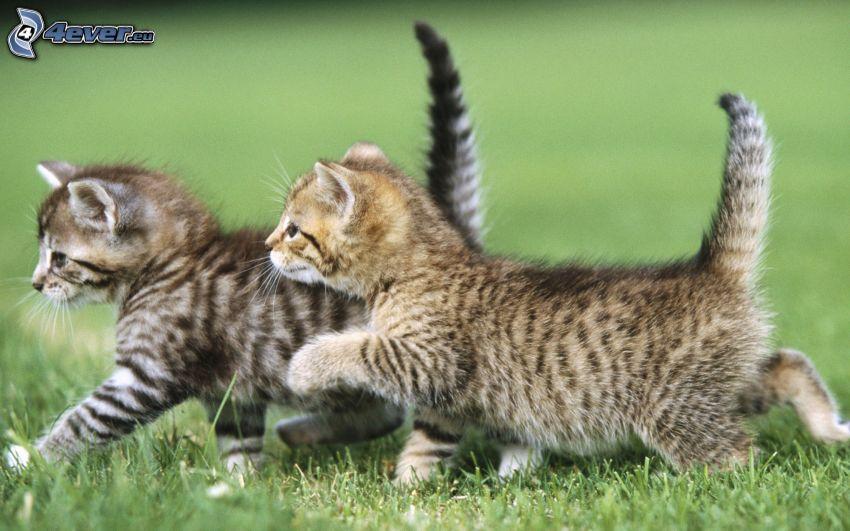 kittens, walking, grass