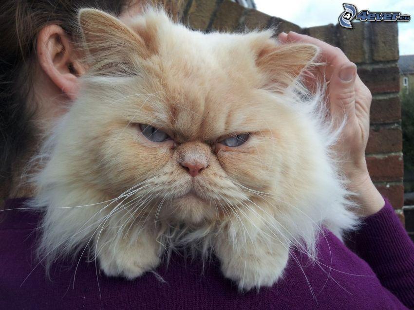 persian cat, anger