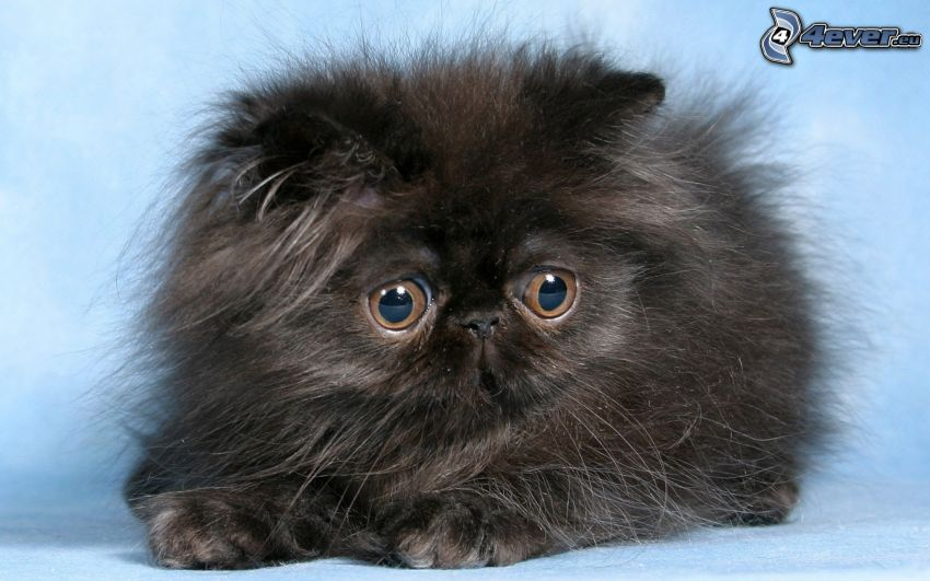 persian cat, black cat