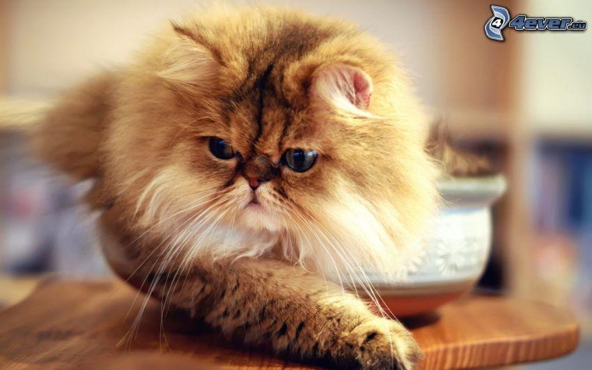 persian cat, brown cat