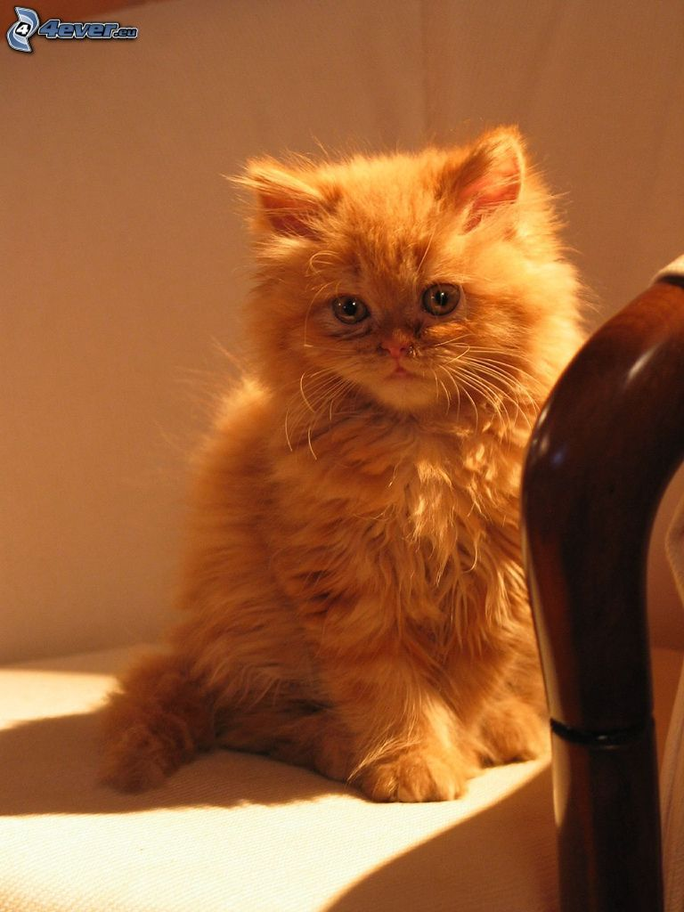 persian cat, ginger cat