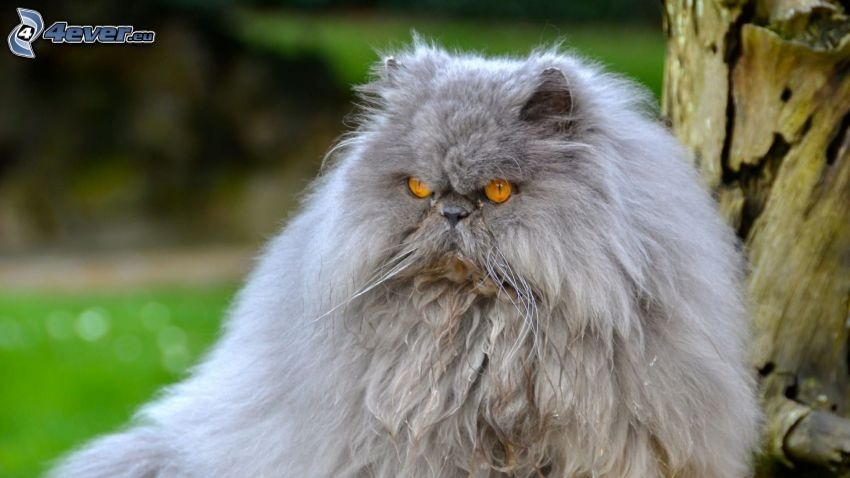 persian cat, gray cat, anger