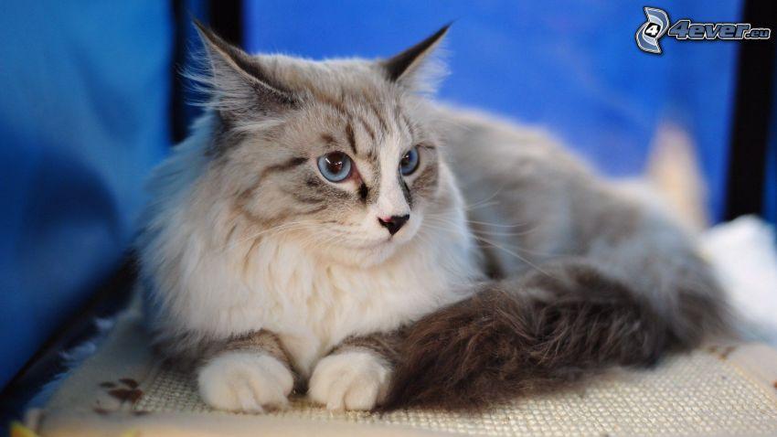 persian cat, gray cat