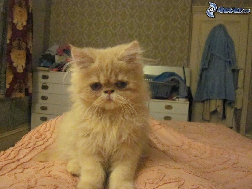 persian cat, room