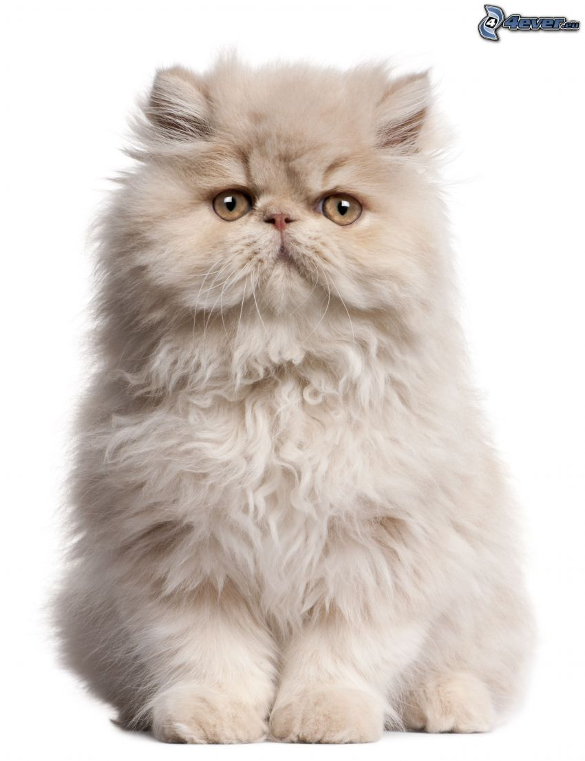 persian cat, white cat