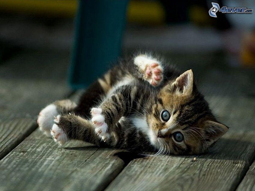 playful kitten, paws