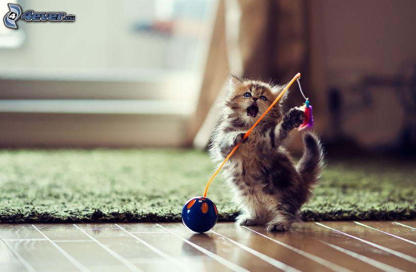 playful kitten, toy