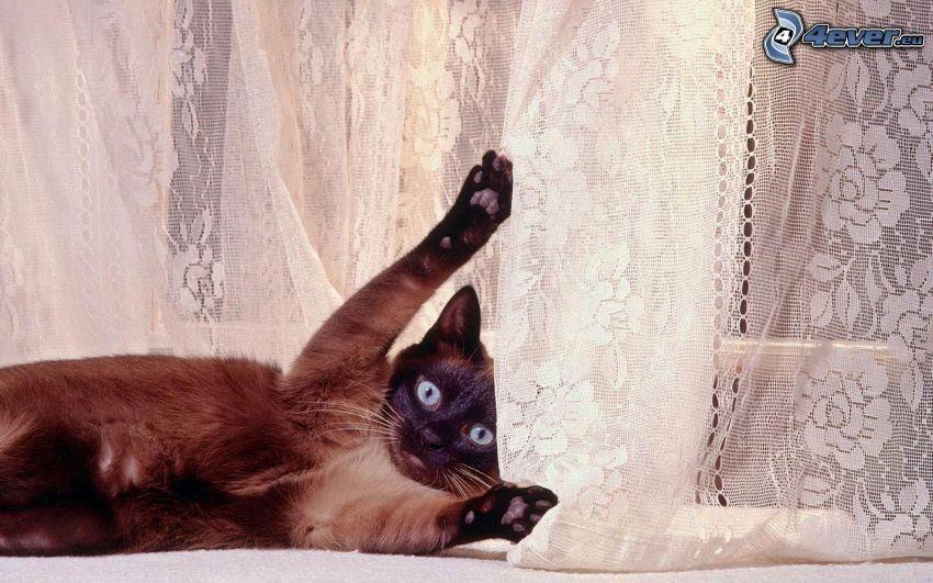 siamese cat, curtain