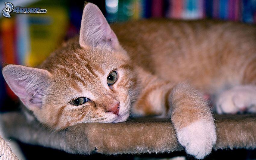 sleepy kitten, small ginger kitten