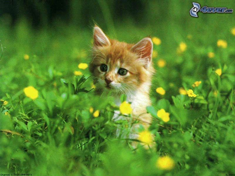 small ginger kitten, grass