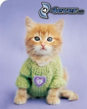 small ginger kitten, sweater